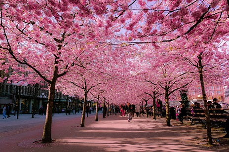 An Alley Of Sakura Or Anese Cherry Blossom Will Be Planted In The Black Sea Town